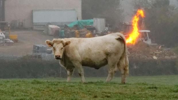 пердящая корова