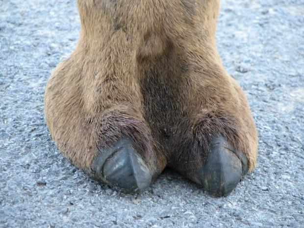 camel toe, cameltoe, верблюд, копыто