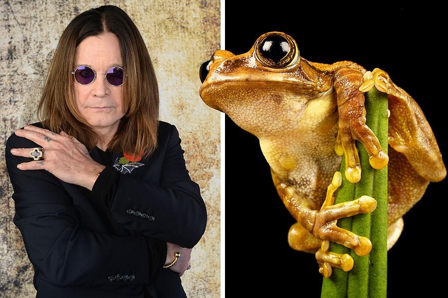 Оззи Осборн, Ozzy Osbourne, Dendropsophus Ozzyi, лягушка, летучая мышь, бразилия
