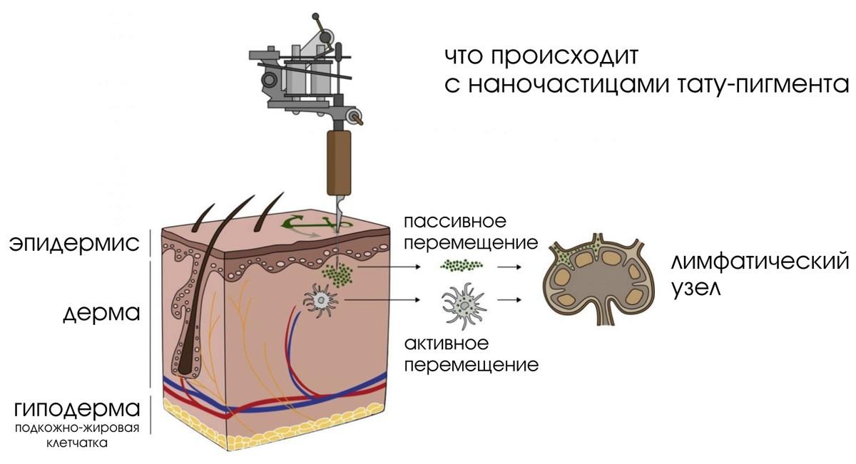 лимфатические узлы, лимфатическая система, организм человека, влияние татуировок на организм, тату-краска, краска для татуировки, тату-иглы, иглы для татуировки